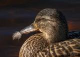 Feather-billed Female Mallard DSCN58245