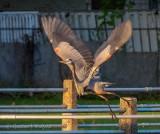 Great Blue Heron Taking Flight DSCN58460