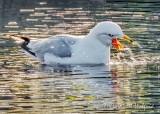 Gagging Gull DSCN58514-5