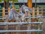 Heron Landing On A Canal Fence DSCN58404