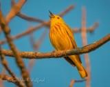 Yellow Warbler Warbling DSCN58932