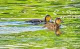 Two Mallard Ducklings Swimming DSCN59084