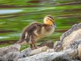 Duckling On The Rocks DSCN59198