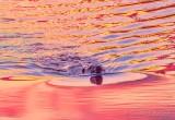 Beaver Bow Wave At Sunrise DSCN57878