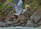 Heron Jumping Rocks DSCN59267