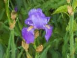 Purple Iris DSCN59284 (art)