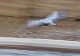 Great Blue Heron In Flight DSCN59527