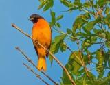 Male Baltimore Oriole DSCN59793