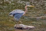 Heron Having Just Landed On A Rock DSCN59909