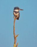 Belted Kingfisher On A Dead Branch DSCN60033