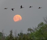 Geese Flying Over The 2021 Flower Full Moon DSCN60305.25