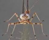 White-eyed Mayfly On Glass Head-on DSCN60393 (crop)
