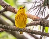 Yellow Warbler DSCN60349