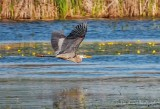Great Blue Heron In Flight DSCN60689
