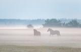 Two Horses Running In Ground Fog P1600010.3
