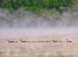 Gosling Train In Early Morning Mist DSCN60776