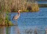 Great Blue Heron In The Swale DSCN60608