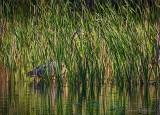 Great Blue Heron In Tall Grass DSCN60617