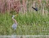 Red-winged Blackbird Mobbing a Great Blue Heron DSCN61103