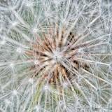 Seedy Dandelion Close Up DSCN60728