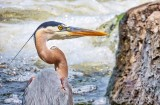 Great Blue Heron Profile DSCN61714