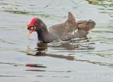 Gallinule With A Catch DSCN62144