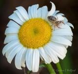 Spider On A Wild Daisy DSCN62341