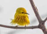 Ruffled Yellow Warbler DSCN62266
