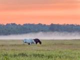 Mist Beyond Grazing Horses At Sunrise DSCN63377