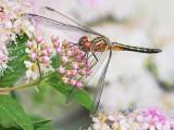 Dragonfly On Pink Spirea DSCN63669
