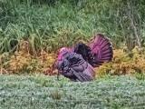 Wild Turkey Fanning Tail DSCN63701