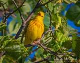 Yellow Warbler Warbling DSCN63790