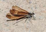 Ebony Jewelwing Damselfly DSCN64036