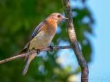 Female Eastern Bluebird DSCN64724