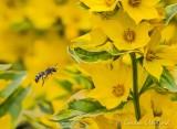 Little Bee In Flight Beside Yellow Flowers DSCN64865