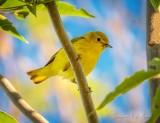 Yellow Warbler DSCN65104