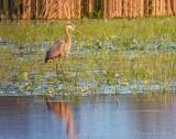Great Blue Heron In The Swale DSCN65156