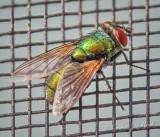 Green Bottle Fly On A Screen DSCN65740