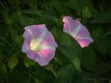 Pink Morning Glories DSCN65645