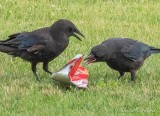 Crows Fighting Over Empty Doritos Bag DSCN65687