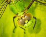 Dragonfly, What Big Eyes You Have DSCN65793