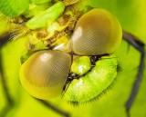 Dragonfly, What Big Eyes You Have DSCN65793 (crop)