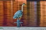 Great Blue Heron At Night P1610205