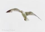 Ring-billed Gull In Flight 90D-00087