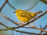 Yellow Warbler DSCN66586