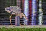 Great Blue Heron At Night_P1610180-3.jpg