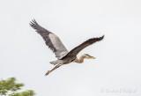 Great Blue Heron In Flight DSCN66839