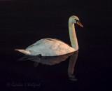 Mute Swan At Night 90D-00559