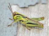 Green Grasshopper With Black Stripes DSCN66959
