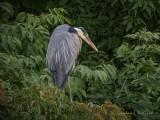 Hunkered Heron In The Bush DSCN67316